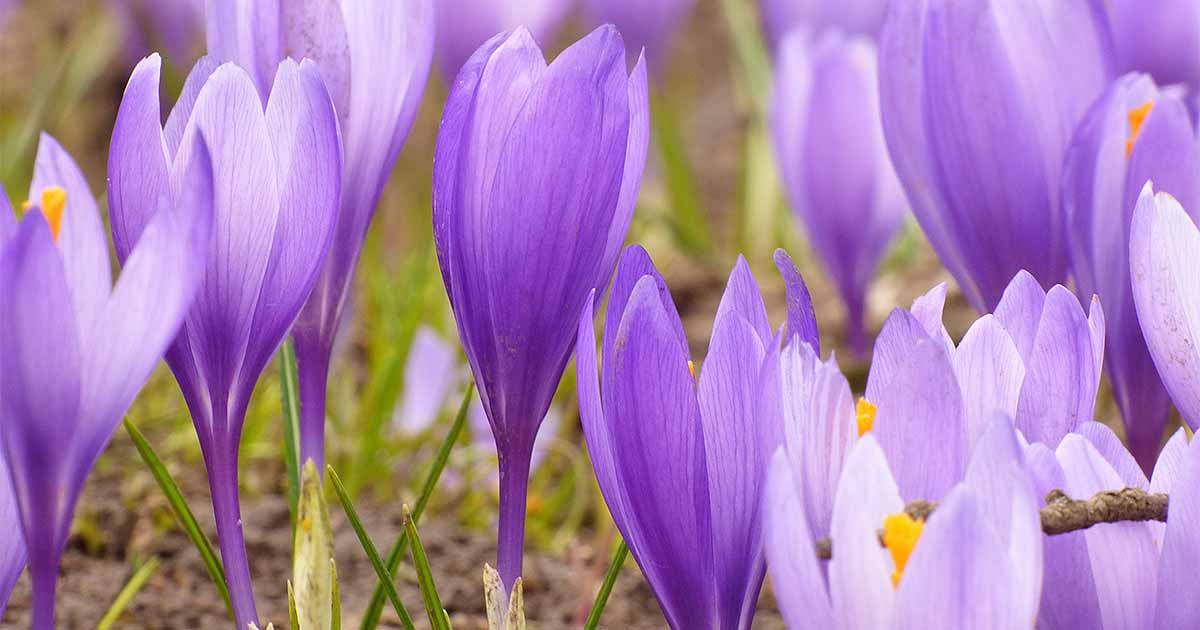 jardin exterior flores crocus