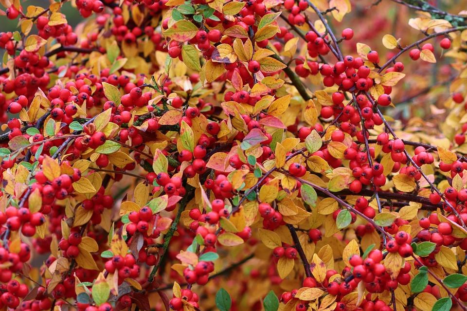 espino de fuego hojas planta