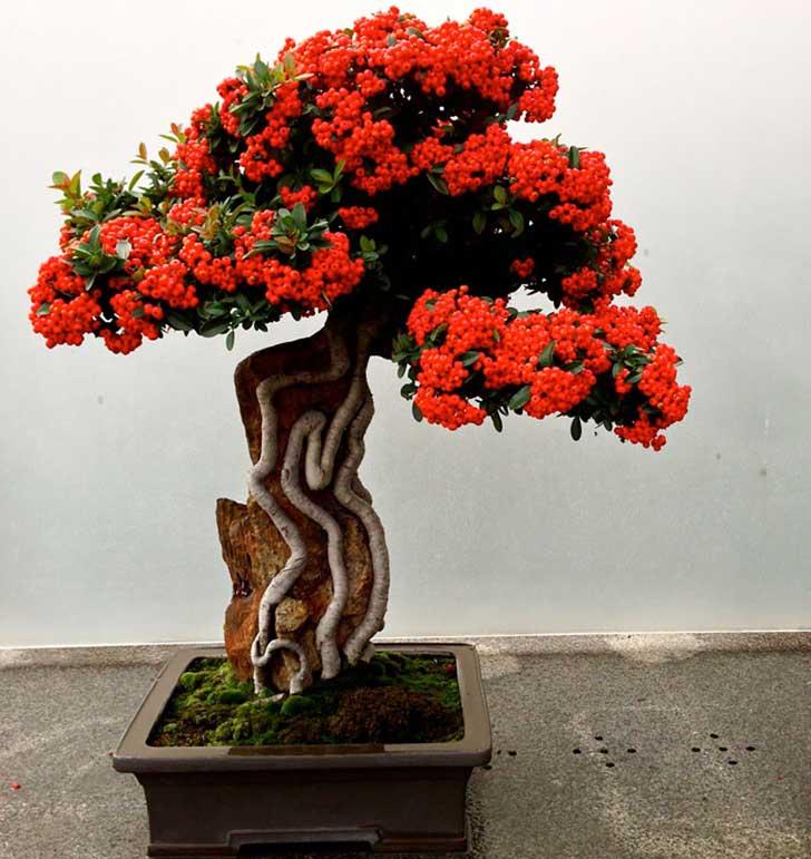 bonsai espino de fuego