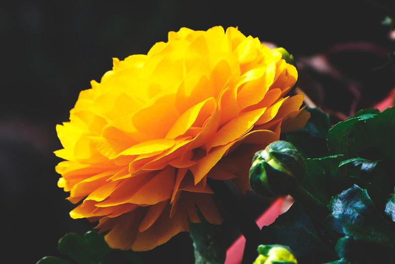 flor amarilla jardin exterior