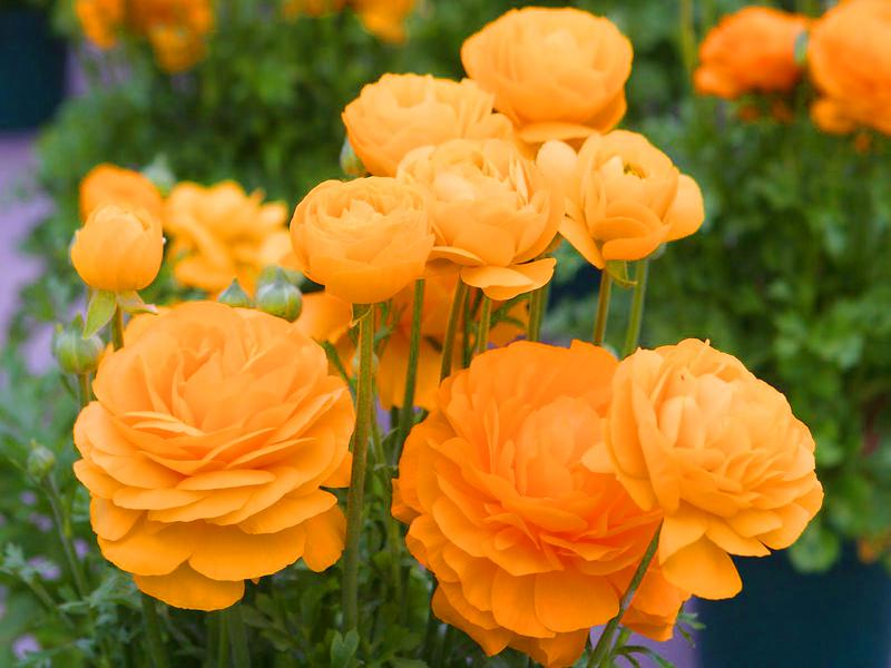 francesilla flor amarilla