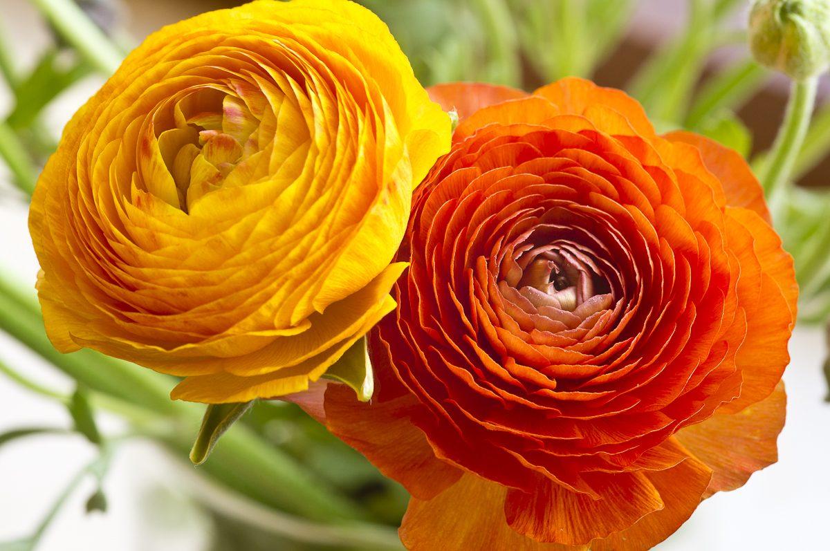 flor francesilla flores