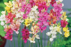 flor ixia jardin