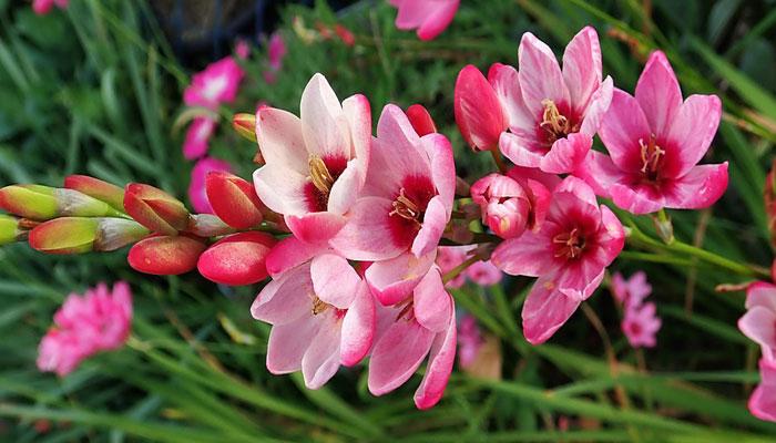 flores ixia jardin exterior