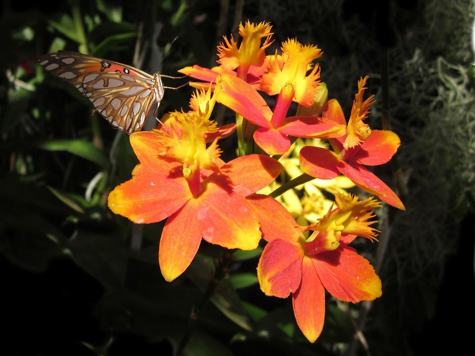 orquídea epidendrum naranja