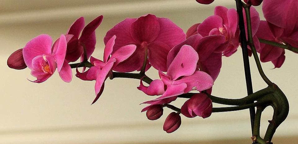 orquídea fucsia phalaenopsis