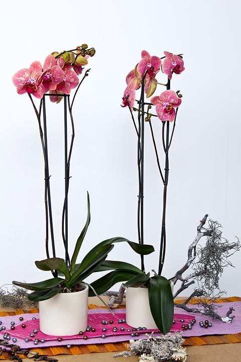 2 orquídeas phalaenopsis en maceta